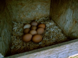Eggs in the Laying Box at Smith Meadows