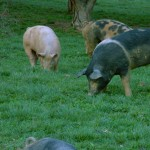Pigs on Spring Pasture at Smith Meadows