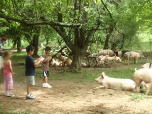 Visiting the Pigs at Smith Meadows