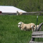 Sheep & Lambs at Smith Meadows