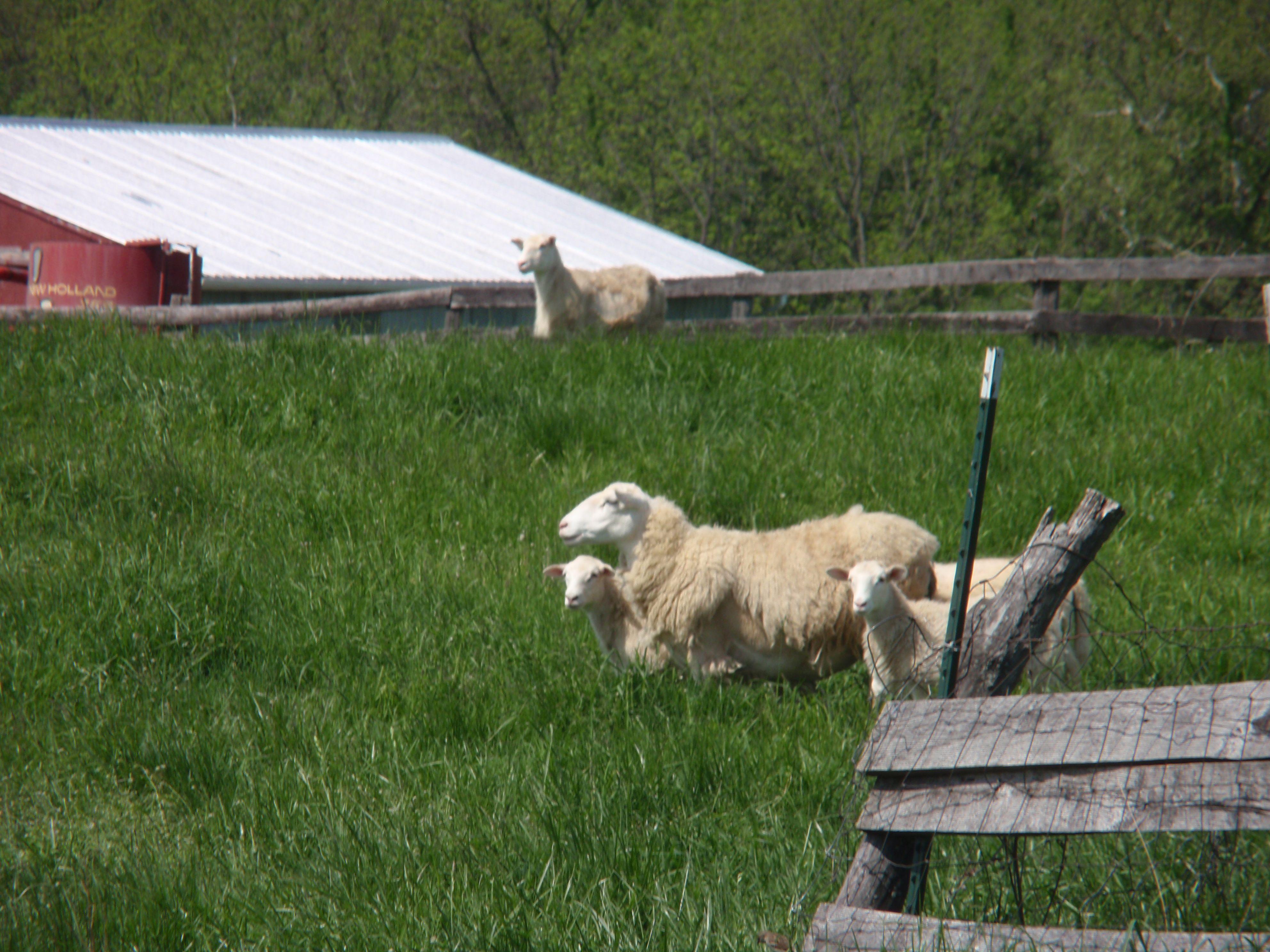 Sheep & Lambs at Smith Meadows