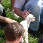 New Born Lamb at Smith Meadows