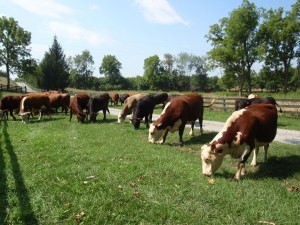Cattle on the move stop for fresh grass