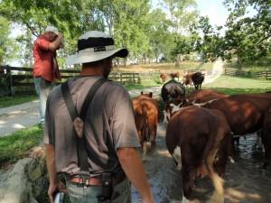 Apprentice Aaron Johnson leads the herd