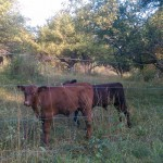 Healthy Calves Say Hello at Smith Meadows