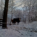 Smith Meadows Cow in Winter