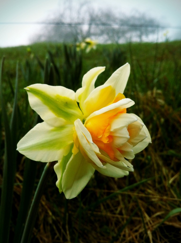 Daffodil at Smith Meadows, Spring 2012 (click to see slide show)