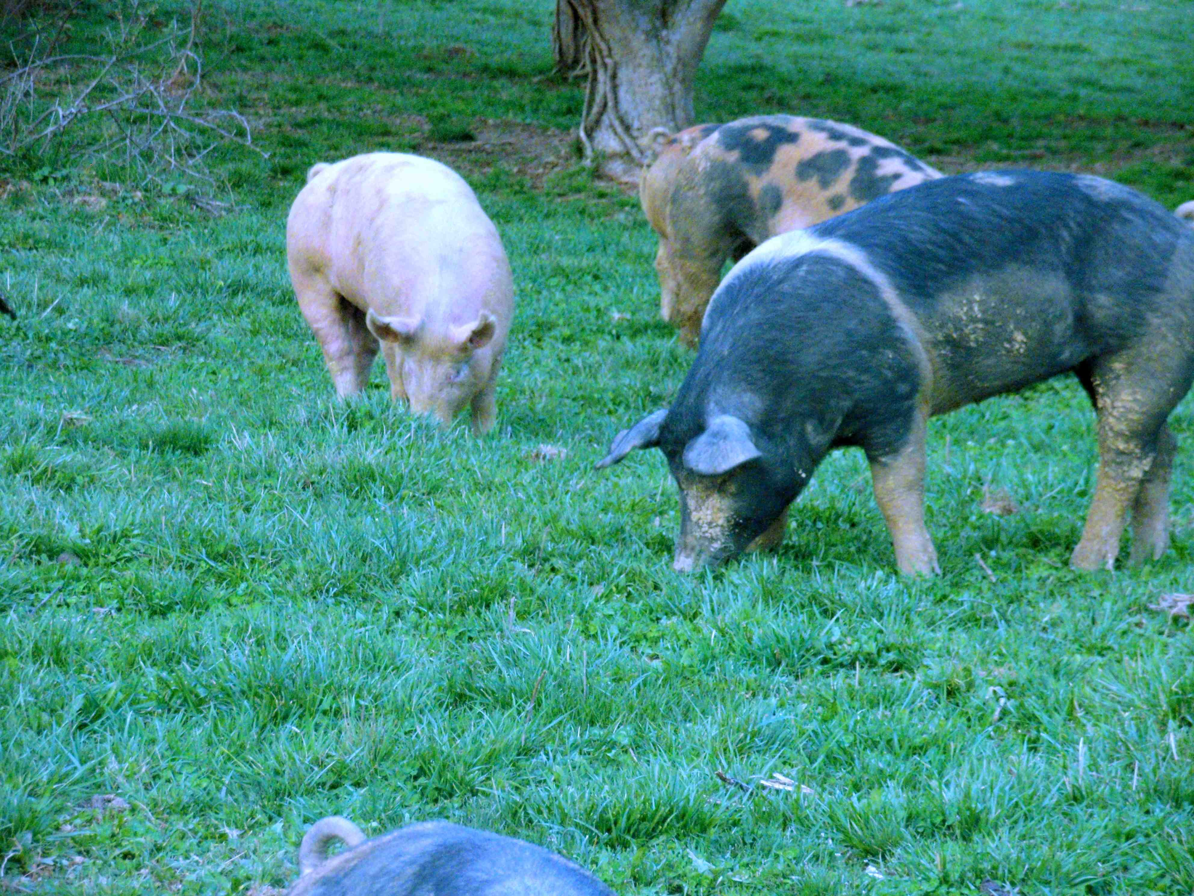 We try to take our cues from nature.  Pigs are perfectly suited for our farm, where grazing, foraging and gleaning opportunities present themselves nearly year-round.