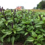 Working from Home: Thai Basil in the Kitchen Garden