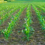 Here is a young field of corn in June.  Although at first glance this field looks green and vibrant, take a close look at the ground.  What do you see?  Lots of exposed dirt, incapable of retaining moisture as a hot season progresses.  In order to plant the corn, farmers spray the earth with herbicide, killing off competing vegetation.  As long as it doesn't get too hot, and rains fall, everything is okay.  When drought hits, however, this exposed ground cooks as hard as a brick.