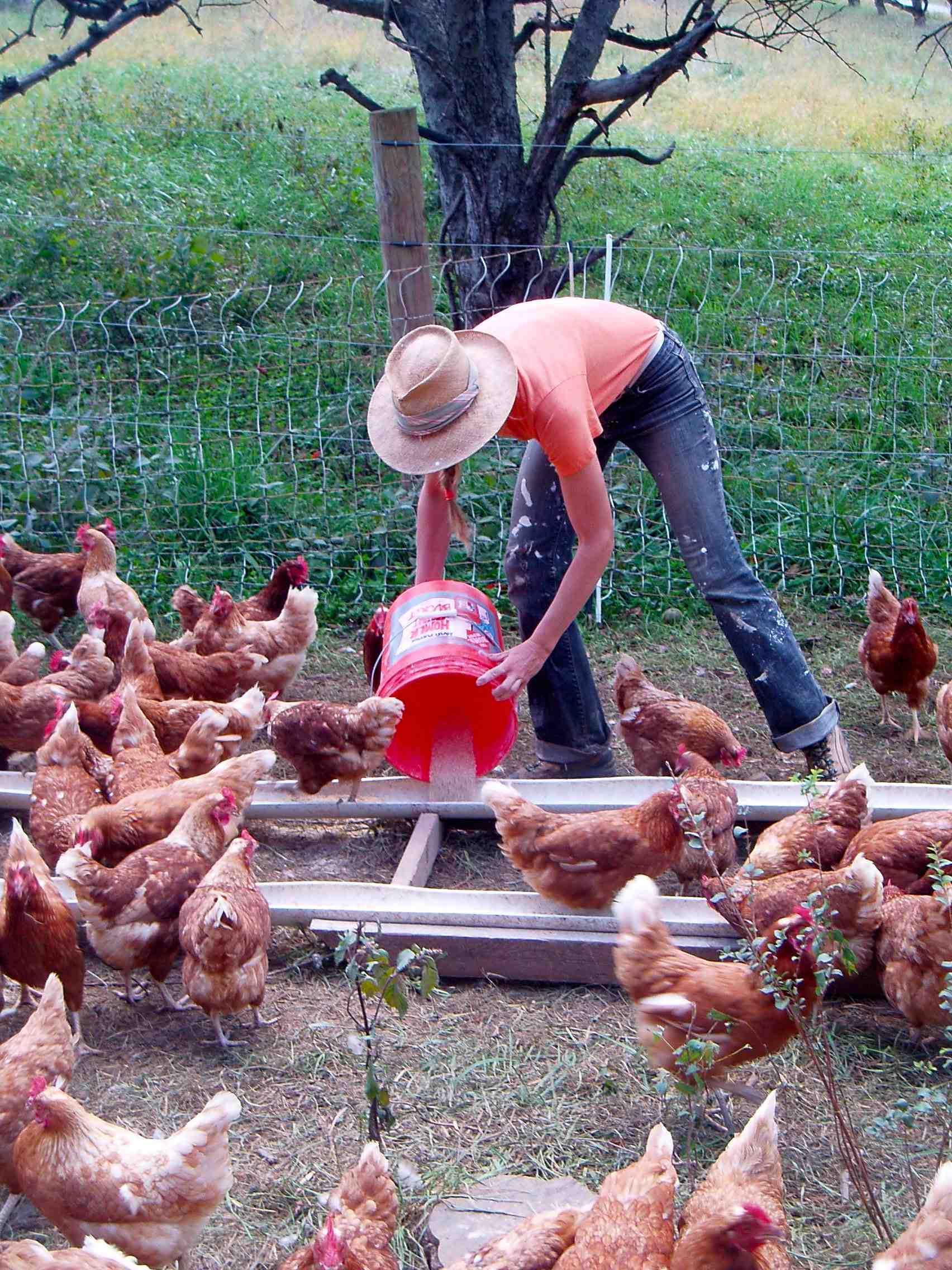 Feeding Chickens - Smith Meadows