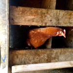 The hen that laid the golden egg?