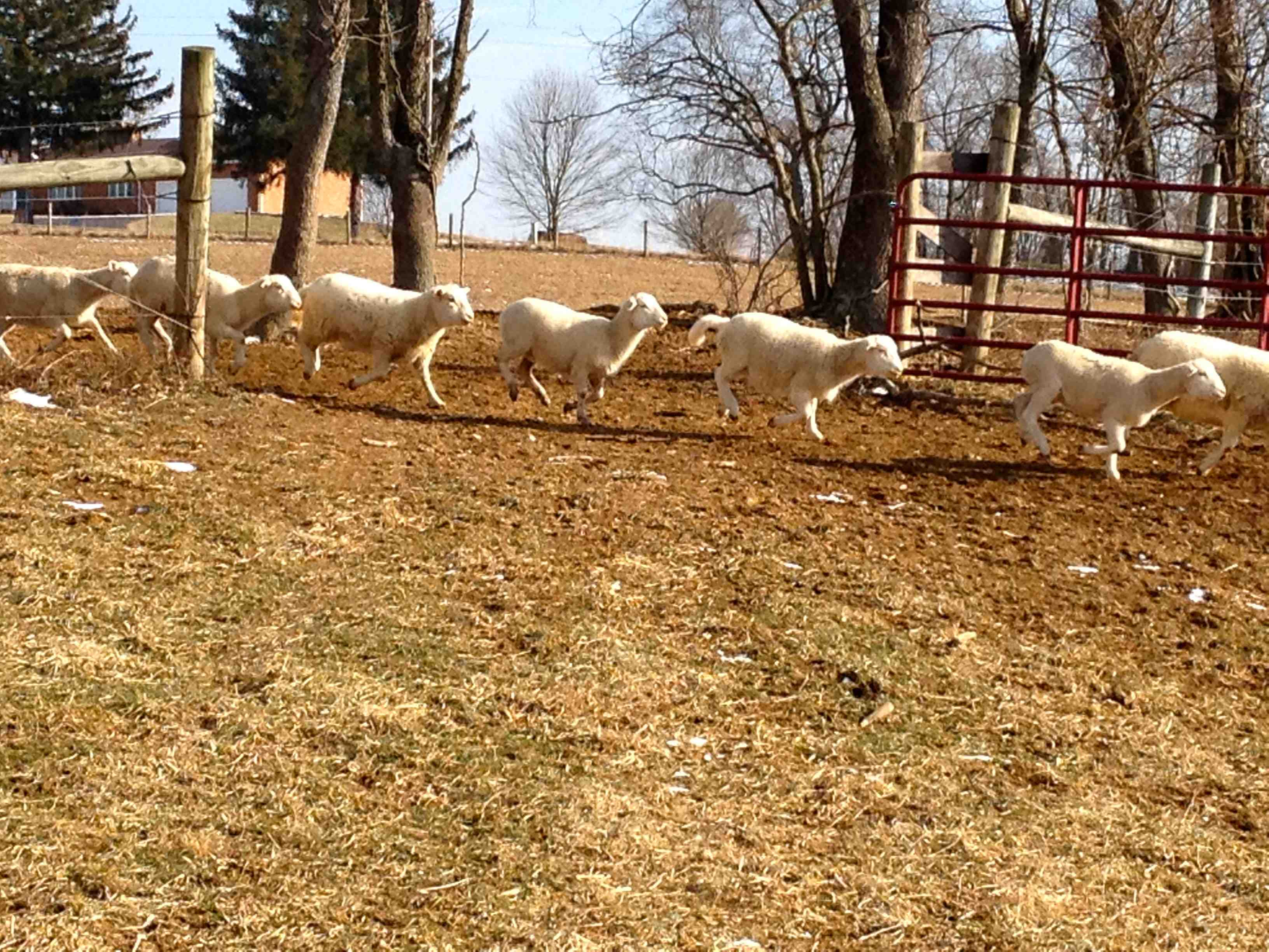 Free Range Sheep Smith Meadows