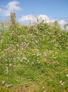 Neglected for years along the edge of a hayfield, this crown vetch is so thick it's nearly growing over the fence post!
