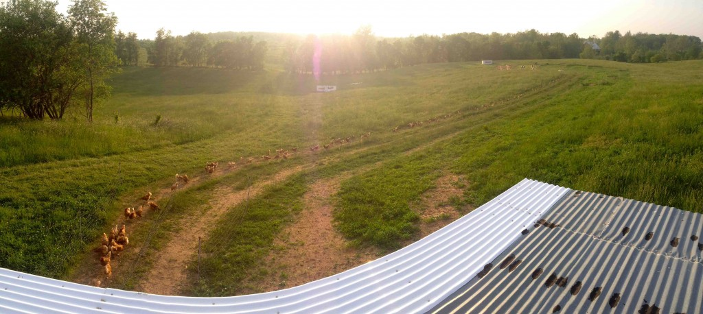 A sweeping view of our free-range poultry field from the top of our laying coop. If you look carefully, you can see our layers grazing over a quarter of a mile away, just to the right of the white hutch in the center of the photo.
