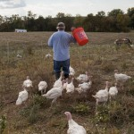 Pastured Turkey Basics