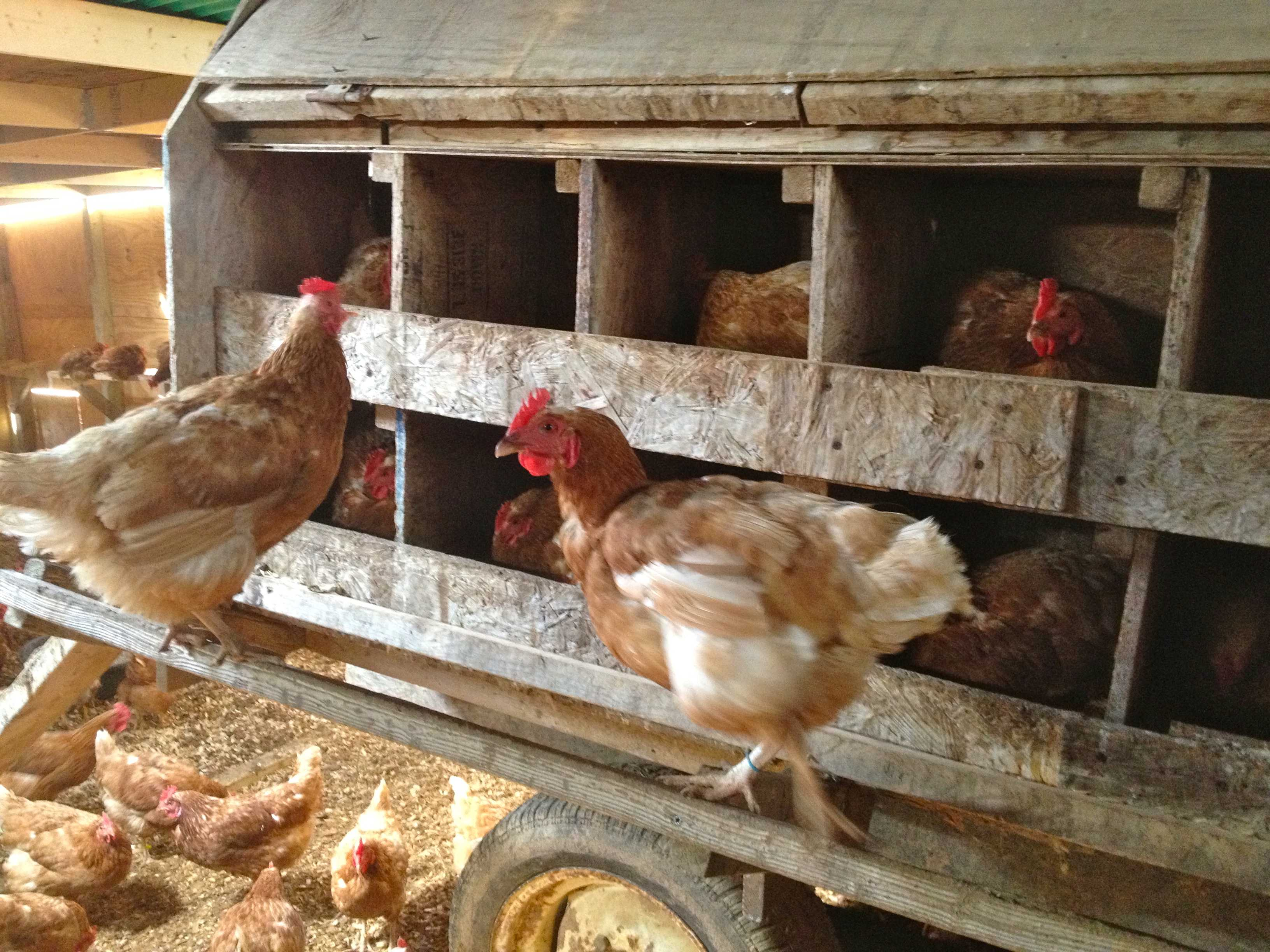 Why Don't Chickens Lay Eggs in the Winter? - Smith Meadows
