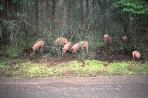 A half dozen pigs can quickly destroy fragile sylvan soil structure...