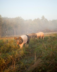 Pigs on pasture. The thicker and taller the grass, the more resilient the pasture recovery.