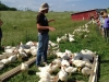 Broilers on Pasture