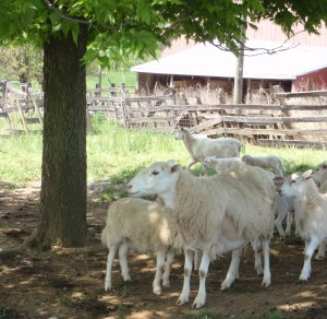 Katahdin Sheep at Smith Meadows
